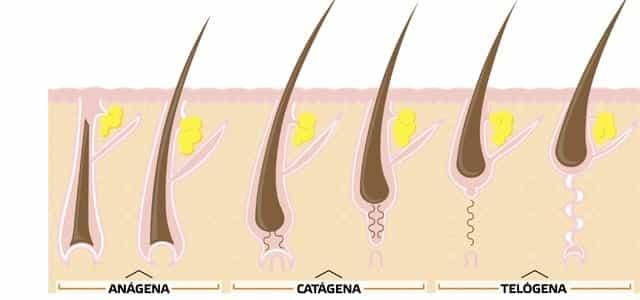 Imagem: http://www.onehealthmag.com.br/. Ilustração do ciclo de crescimento do cabelo, que começa na fase anágena, passa pela catágena e termina na telógena.